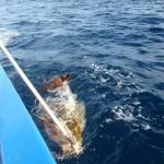 """Eine Meeresschildkröte, die sich in einem """"entsorgten"""" Fischernetz verfangen hat"""