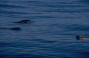 Delfinschwimmen1