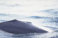 Ein Delfin ohne Rückenfinne: Folgen einer Kollision?