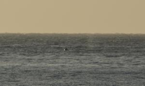 Buckelwalrücken vor dem Valle Gran Rey